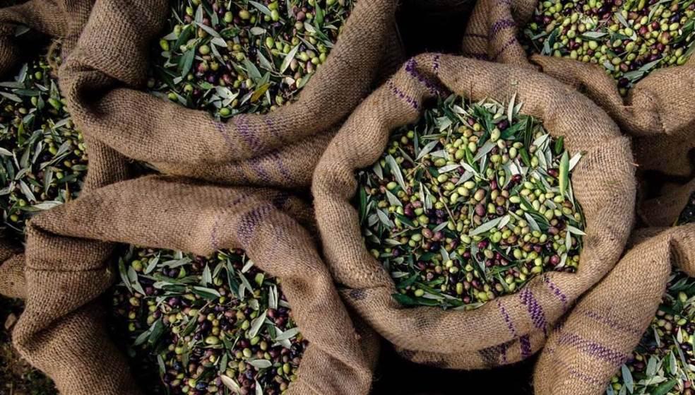 Λάδι: Δάκος, σαποβούλα και γλοιοσπόριο - Τρεις οι «ένοχοι» της καταστροφής