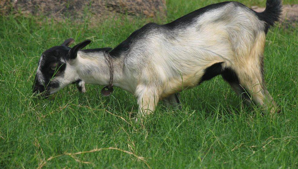 Viral η... Κρητικιά κατσίκα που ακροβατεί πάνω σε αχλαδιά