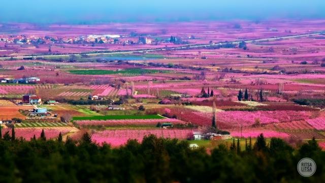 Αποτέλεσμα εικόνας για Κήποι του Μίδα: Πού στην Ελλάδα ο κάμπος γίνεται ροζ κάθε άνοιξη