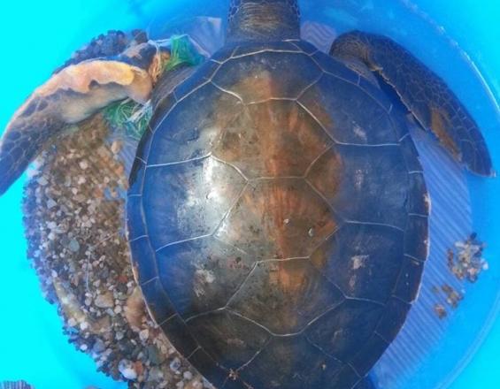 Κρήτη: Ταξίδι σωτηρίας για την τραυματισμένη χελώνα (φωτο)