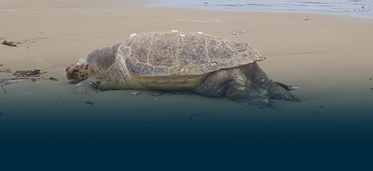 Βίντεο: Μία ακόμα νεκρή χελώνα σε παραλία της Κρήτης