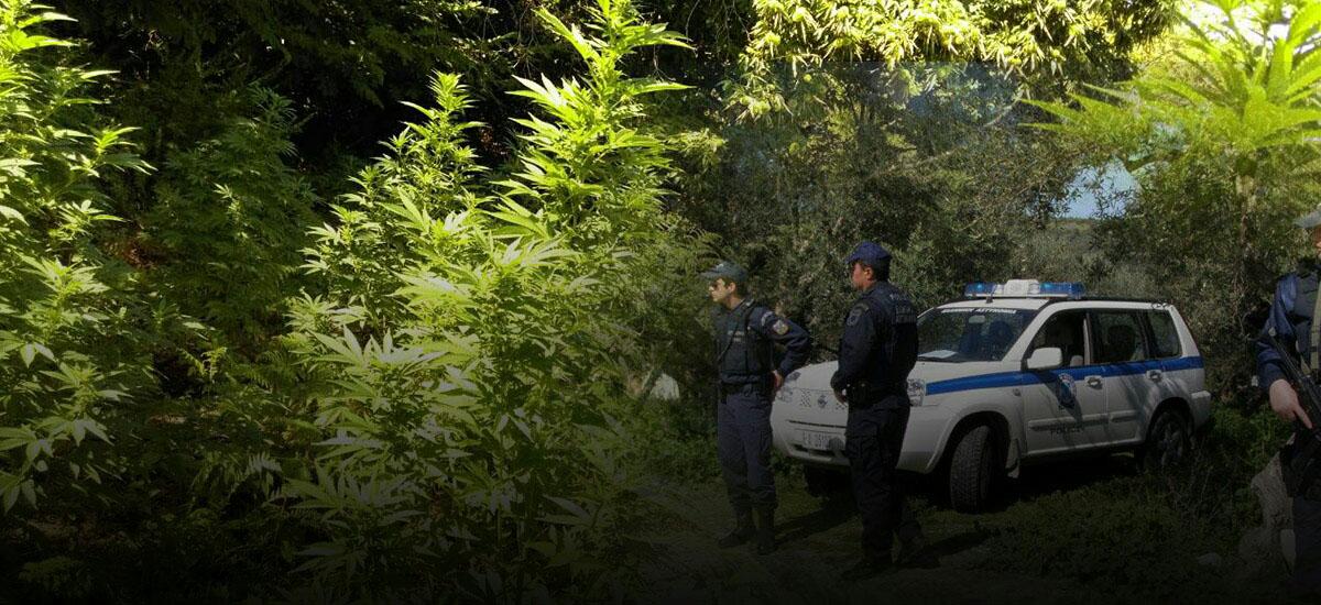 Τρεις «ορφανές» χασισοφυτείες εντόπισαν οι αρχές