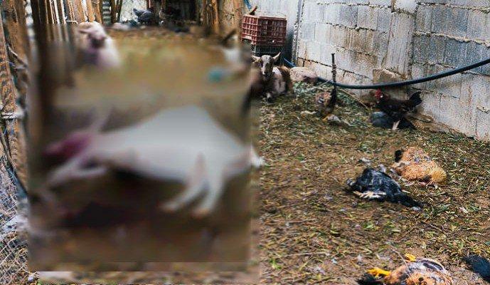 Σκηνικό φρίκης από εισβολή σκύλων που έπνιξαν τα ζώα οικογένειας (φωτο)