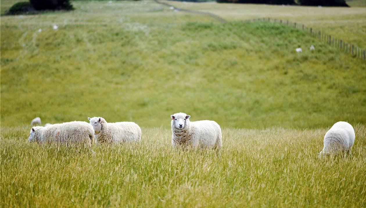 Χρυσάφι πληρώνουν το τριφύλλι οι κτηνοτρόφοι της Κρήτης