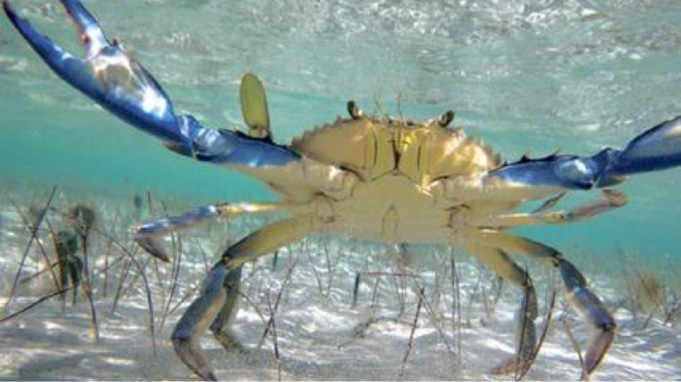 Μπλε καβούρια Ατλαντικού στις θάλασσες της Κρήτης