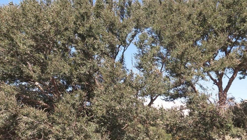 Αμπελιτσιά: Σε ποια περιοχή της Κρήτης έχει φυτευτεί το σπάνιο δέντρο;