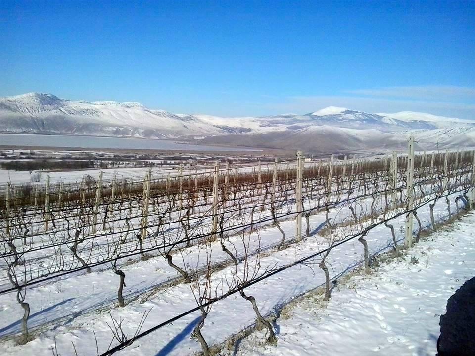 Καταστροφή για τα αμπέλια- Ο χιονιάς «χτύπησε» ελαιόδεντρα και καλλιέργειες