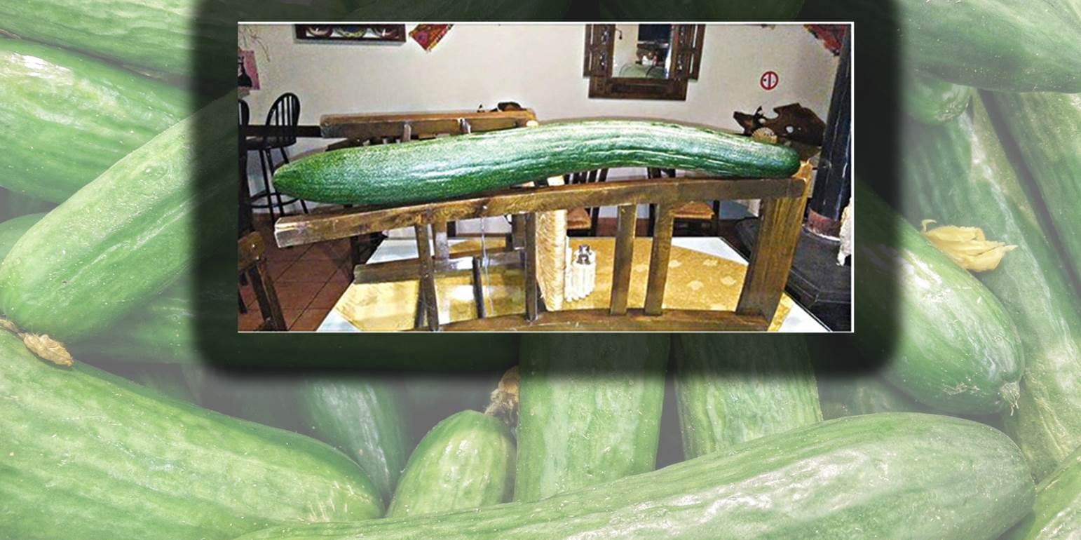 Απίστευτο: Καλλιέργησε αγγούρι γίγας που είναι ίσο με... μία καρέκλα