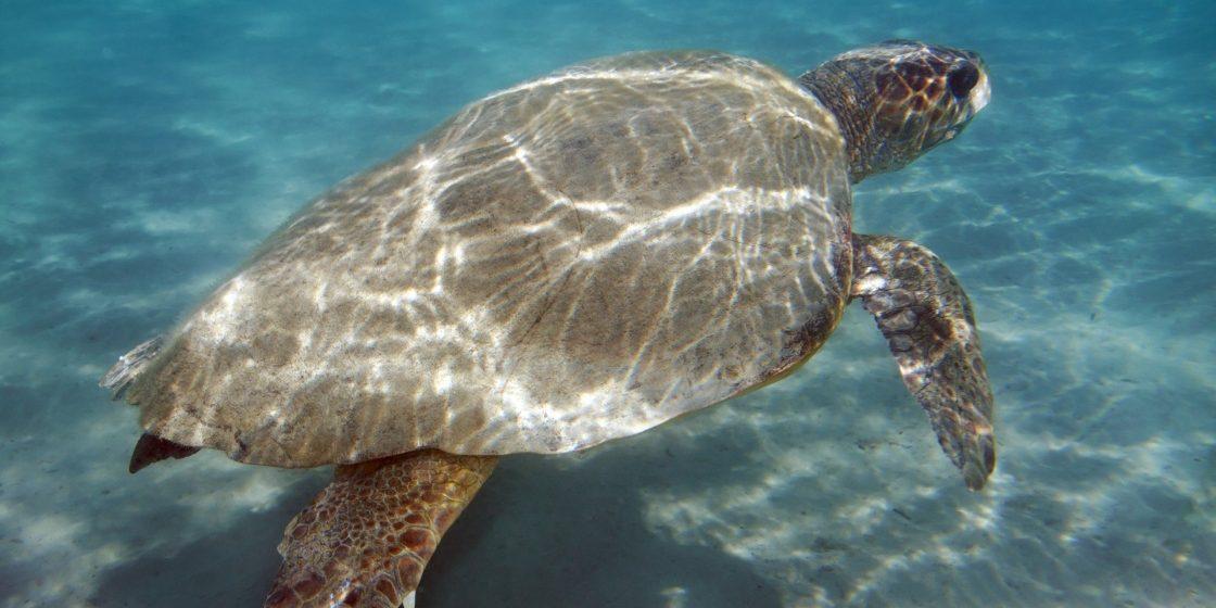 Οι πρώτες φωλιές χελωνών καρέττα – καρέττα στην Κρήτη