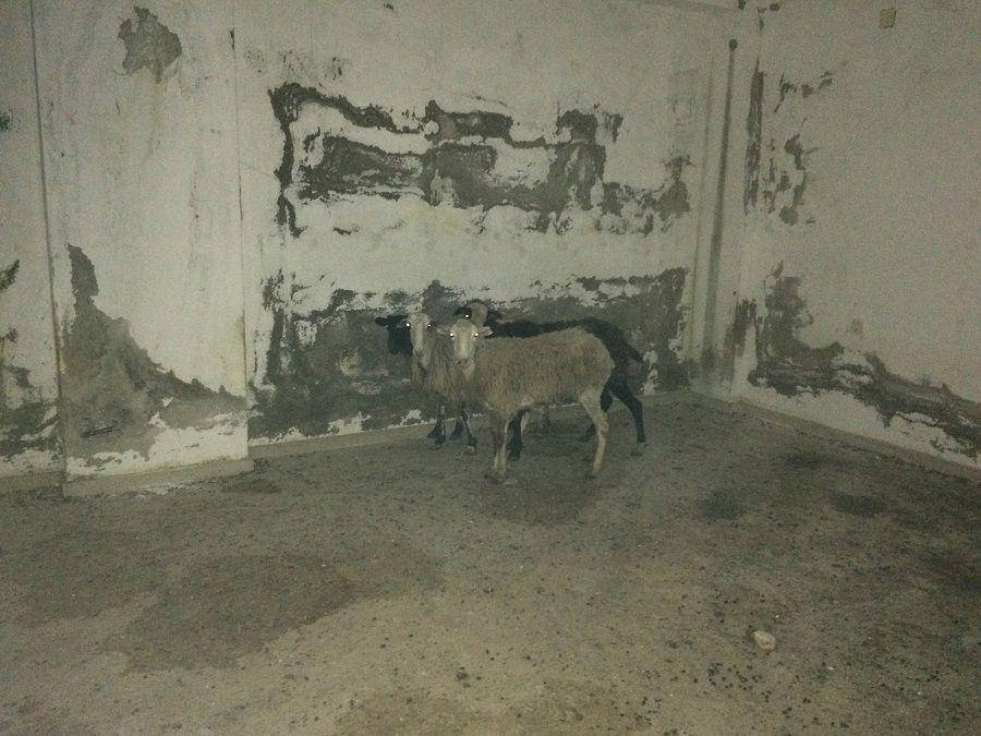 """Άγνωστος """"φυλακίζει"""" πρόβατα σε εγκαταλελειμμένο κτίριο και τα αφήνει να πεθάνουν …"""