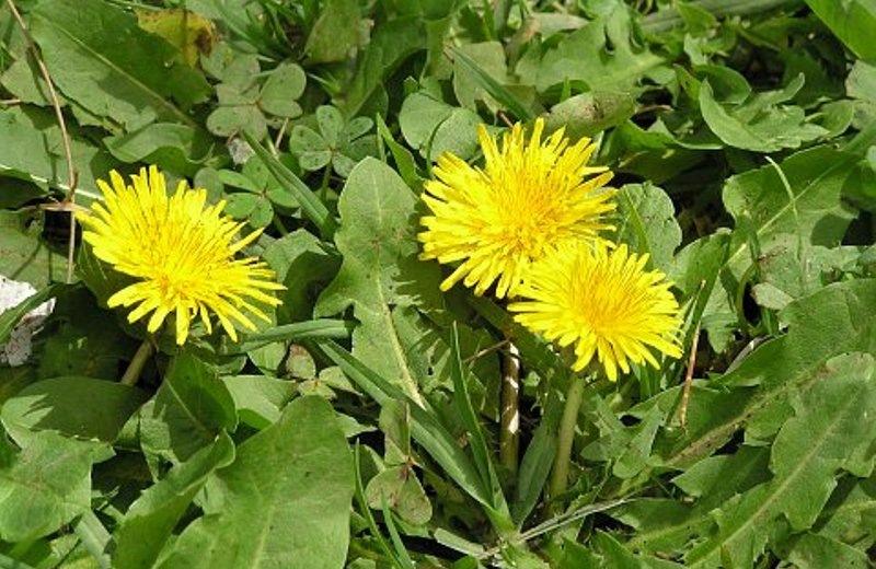 Ταραξάκο: Το θαυματουργό κρητικό φυτό με τις θεραπευτικές ιδιότητες