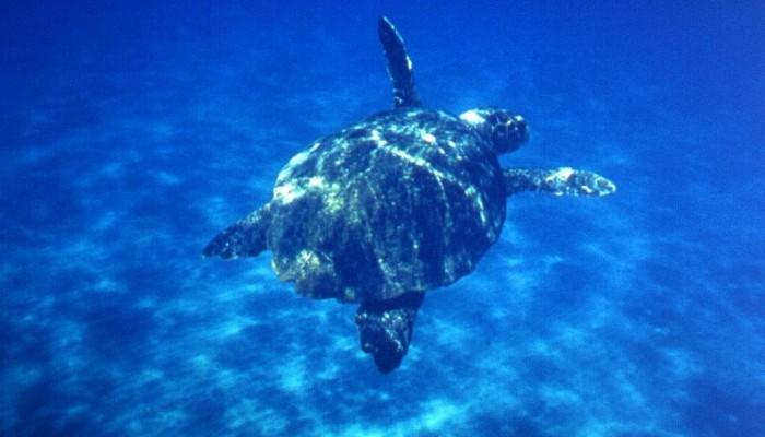 Διεσωσαν μικρή χελώνα στον κόλπο του Μεραμπέλλου (vid)