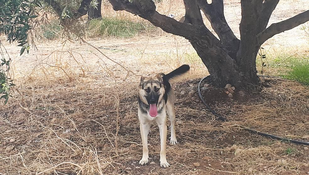 Σκυλί δεμένο με σκοινί στην ελιά