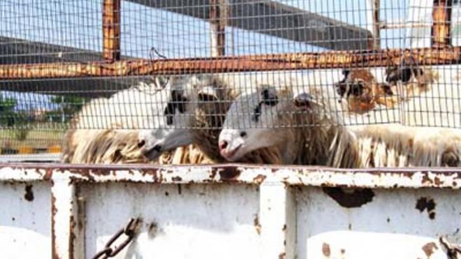 Έκλεψαν τα πρόβατα και φορτηγό και εξαφανίστηκαν