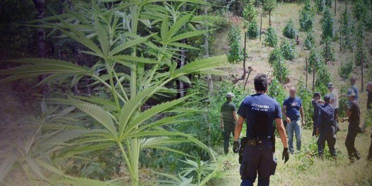 «Ορφανή» φυτεία βρήκαν οι αρχές στον Μυλοπόταμο