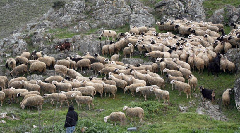 1,68 εκατ. ευρώ στους κτηνοτρόφους των νησιών του Αιγαίου