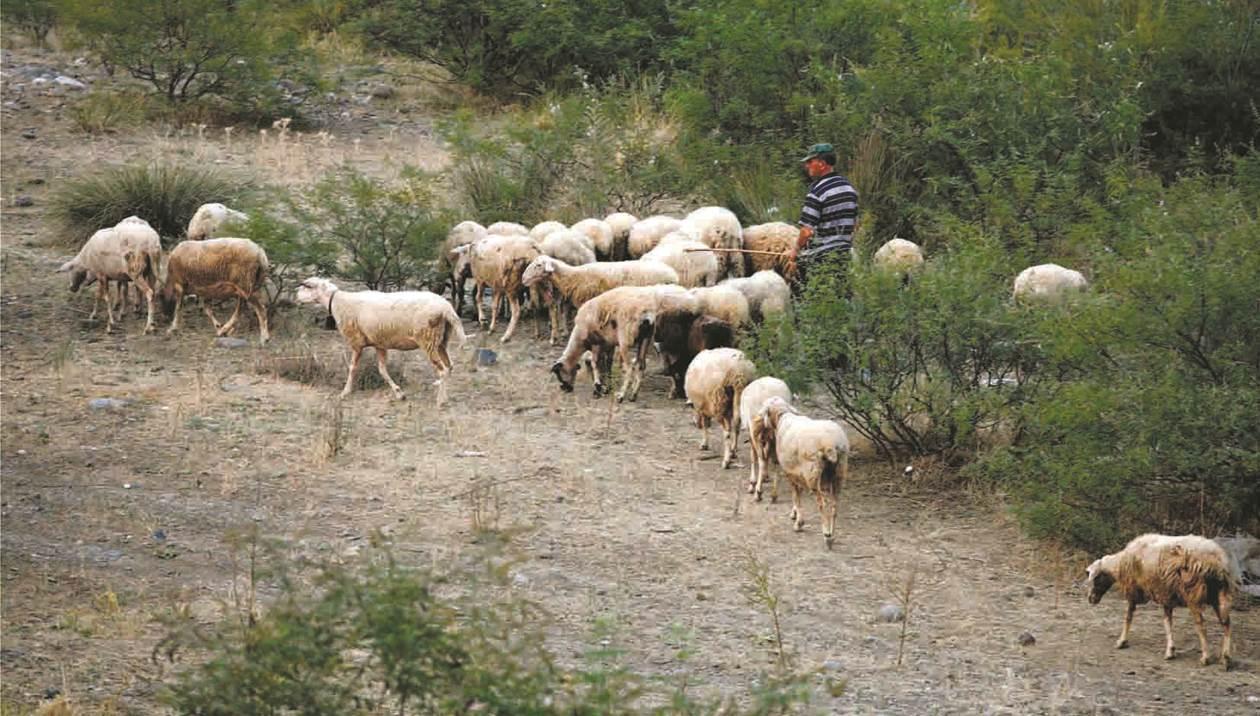 Νέο «κόλπο» από τυροκόμους στην Κρήτη: Πληρώνουν με ζωοτροφές!