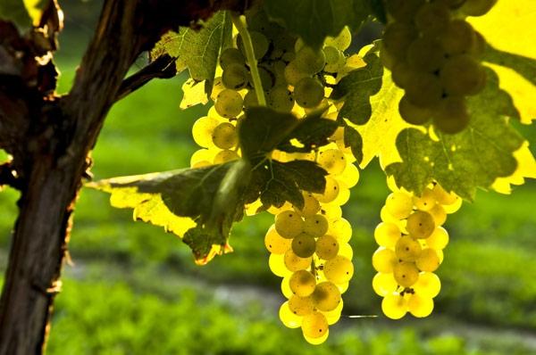 Τι ισχύει για τις άδειες νέων φυτεύσεων αμπέλου