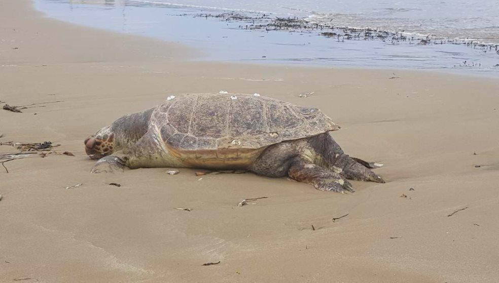 Μακάβριο θέαμα με τεράστια χελώνα στις Γούρνες