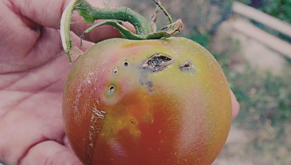 «Σαρώνει» η Τuta absoluta - Τώρα βρίσκει… καταφύγιο στην πατάτα