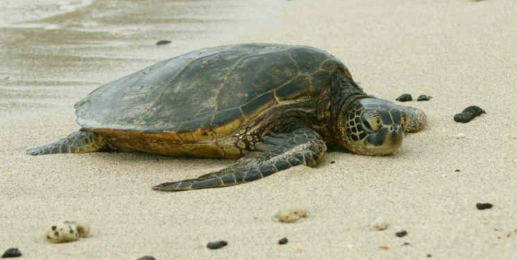 Νεκρή χελώνα σε παραλία των Γουβών