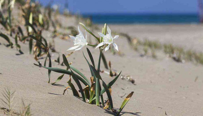 Καταστρέφουν τα κρινάκια της θάλασσας στις παραλίες της Κρήτης