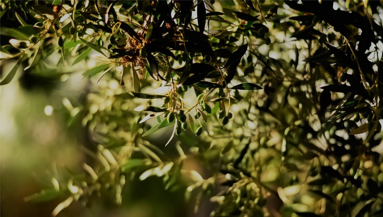 Kλάδεμα ελιάς: Τι θα πρέπει να προσέξουν οι Κρητικοί