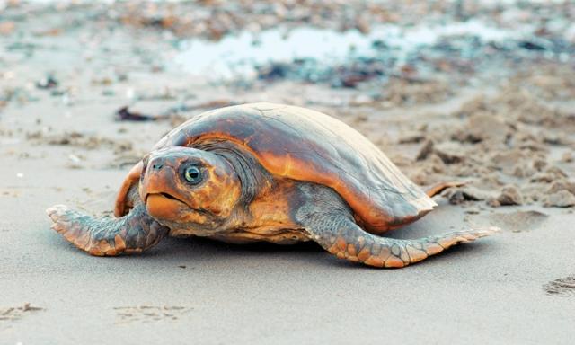 Κρήτη: Εμφανίστηκαν τα πρώτα χελωνάκια στις παραλίες
