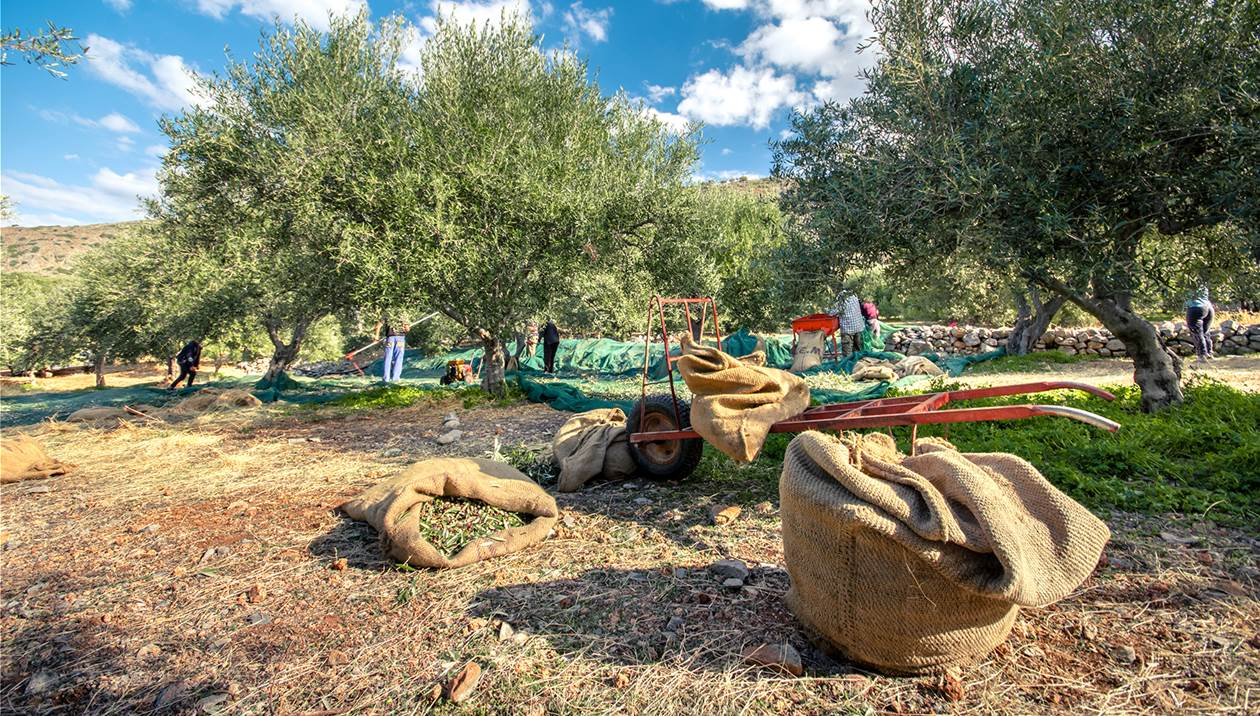 Έρχονται… ξένα λάδια στην Κρήτη