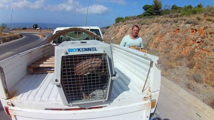 Νεαρό Όρνιο εντοπίστηκε στη θάλασσα στην Ελούντα και σώθηκε μετά από...επιχείρηση