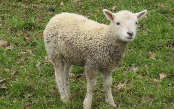 Πέταξαν ζωντανό ένα προβατάκι σε κάδο απορριμμάτων!