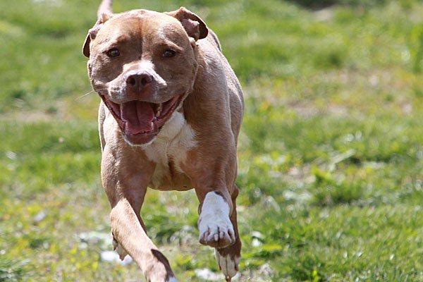 Κρήτη: Pit bull τραυμάτισε στο πρόσωπο διανομέα φυλλαδίων