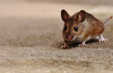 52254ab0f6a6 Απίστευτο  Γεννήθηκαν μωρά ποντίκια από γονείς ίδιου φύλου