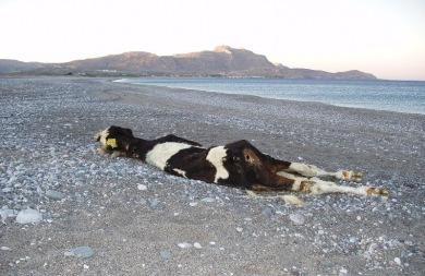 Νεκρή αγελάδα... ξέβρασε το κύμα στην Ιεράπετρα!