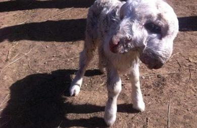Πρόβατο γεννήθηκε με δύο κεφάλια!