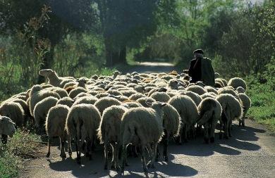 Έκλεψαν τα πρόβατα από στάνη μέσα από το χωριό του Προφήτη Ηλία