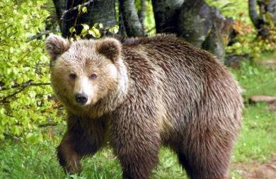 Αρκούδα βγήκε... βόλτα στο Άργος Ορεστικό