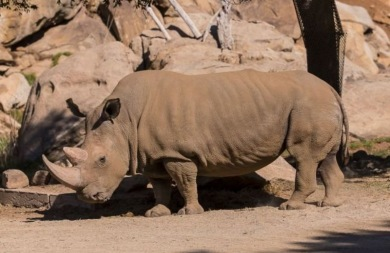 Πέθανε ο ένας από τους έξι λευκούς ρινόκερους του Βορρά